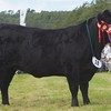 GRANTOWN SHOW 15 ABERDEEN ANGUS CHAMPION FROM DONALD RANKIN, SKYE