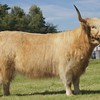 GRANTOWN SHOW 15 HIGHLAND CATTLE CHAMPION