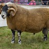 GRANTOWN SHOW 15 BLACKFACE CHAMPION