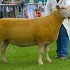 British Charollais champion a shearling ewe from Carole Watson.