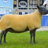 Bleu Du Maine champion a single breeding ewe from Mr P.H. Tait.