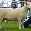 Polled Dorset champion a shearling gimmer from Mr J.R. Ryan.