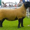 Suffolk champion a shearling ewe from Pamela Lupton.