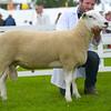 Lleyn champion a shearling ram from Mr B Walling.