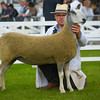 Blue faced Leicester champion a shearling ewe from Scott Thomason.