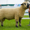 Hampshire Down champion a Ram lamb from Mr and Mrs Middleditch and son.