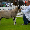 Swaledale champion a ewe from Mr T W Hutchinson.