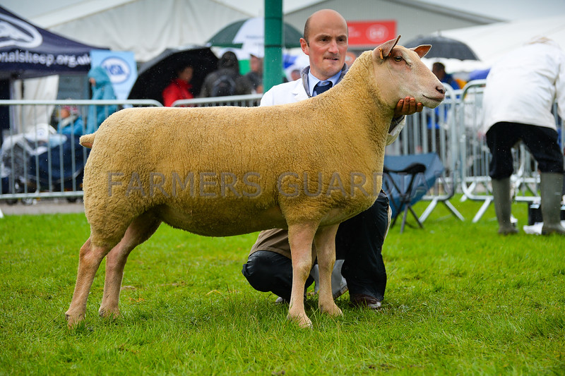 Charollais champion a shearling ewe from Mr A R Gray.