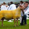 British Rouge champion ram from Mr Percy Tait.