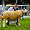 Beltex champion a ewe from Messrs K and R Buckle.
