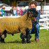 Suffolk champion a Ram lamb from Mr G.L. Riby.