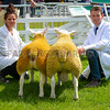 Inter-breed pairs champions Texel, a ewe lamb from Bowden Davies and a tup lamb from Mr D.J. McKerrow.