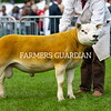 Texel Champion a Ram from Mr A.J. Carter.