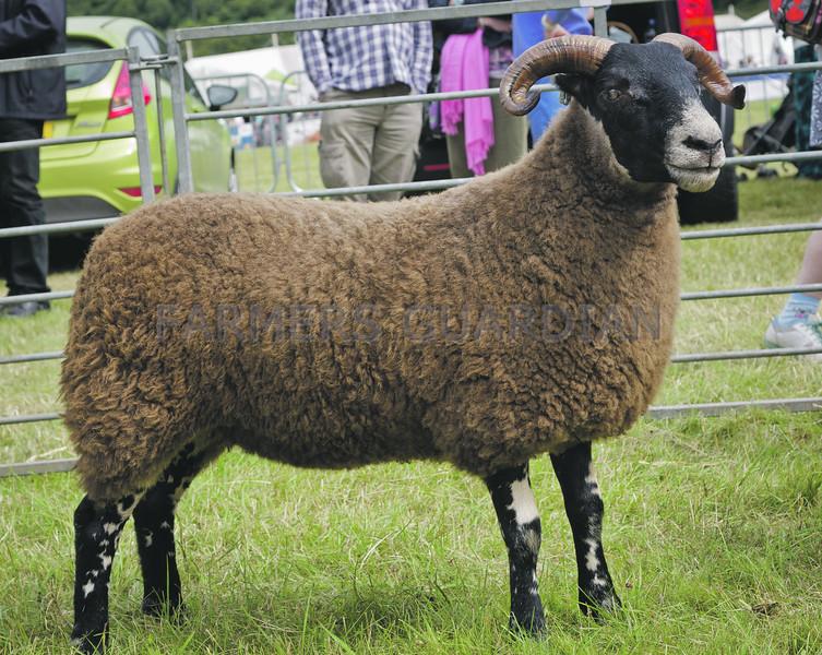 Kinross Show 13 Blackface sheep champion ewe lamdb from Stuart McDougall, Mill House, Blairadam.