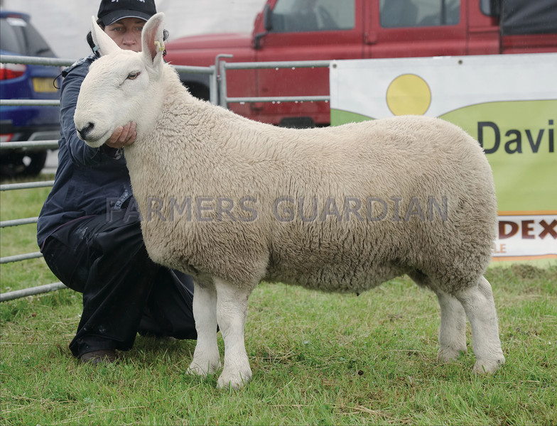 Any Other Breed of Sheep Champion at Kirriemuir Show. Cheviot from Nicoll & McNee, Balthayock Farms, Perth