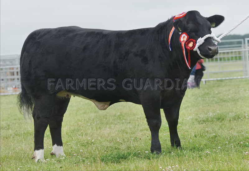 """Commercial, Interbreed and Show Champion of Champions """"Miss Tease"""" from Wilson Peters, Monzie, Crieff"""