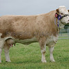 Simmental Champion at Kirriemuir Show from Douglas Smith, Drumsleed Farm, Fordoun.