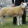Texel Sheep Champion at Kirriemuir Show from A & T Greenhill, Westhall Farm, Kellas, By Dundee.