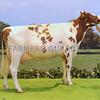 D Event Ayrshire Heifer