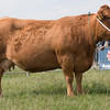 Leicestershire County Show 2016<br /> South Devon Champion Northview Clover owned by Oliver Brewin<br /> Picture Tim Scrivener 07850 303986<br /> ….covering agriculture in the UK….