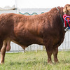 Leicestershire County Show 2016<br /> AOB Continental Calverton Lad owned by G R Fountaine <br /> Picture Tim Scrivener 07850 303986<br /> ….covering agriculture in the UK….