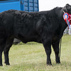 Leicestershire County Show 2016<br /> Commercial Champion French Maid owned by Mr F Page<br /> Picture Tim Scrivener 07850 303986<br /> ….covering agriculture in the UK….