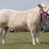 Leicestershire County Show 2016<br /> Charolais Champion Jameelia owned by Messrs D & C Norton<br /> Picture Tim Scrivener 07850 303986<br /> ….covering agriculture in the UK….