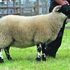 Longwool reserve: a Blackface ewe lamb from Meadowview Blackface flock of Nigel Kewley