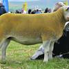 Shortwool champion: Texel ewe from Kerrie Kemode.