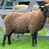 Manx Loaghtan: ewe lamb from David Raddcliffe,  Kirk Michael