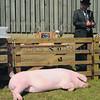 Norfolk tired pig