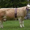 Norfolk Simmental