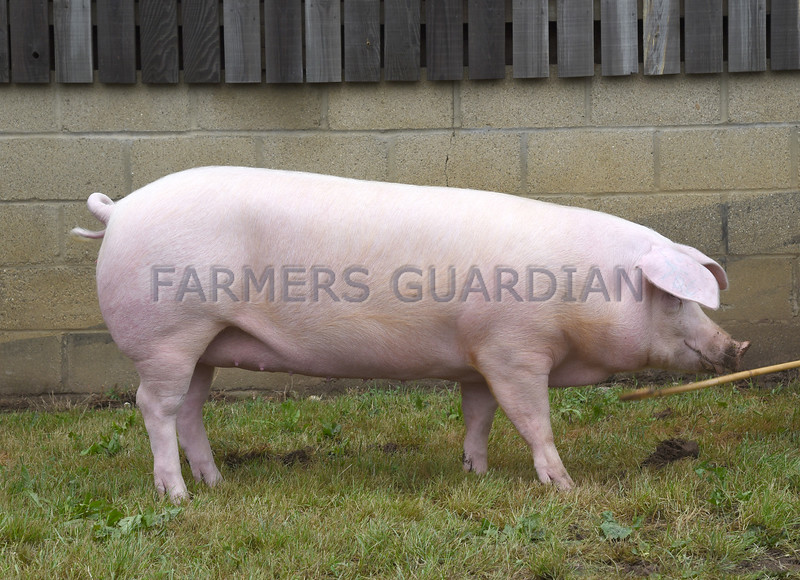 Norfolk pig
