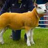 Inter-breed sheep champion a tup lamb from G. Gray.