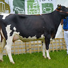 Reserve Inter-breed dairy champion Morwick Classic Tina from D.A. Howie.