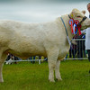 Inter-breed beef champion Tweeddale Jazzylady a Charolais heifer from Redhead and Watson