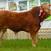 Reserve inter-breed champion junior Limousin bull Whinfellpark Luvabull from Messrs Jenkinson.