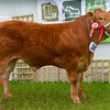 Commercial beef champion continental steer Barrons Lascard from W Barron.