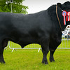 Native breed champion Aberdeen Angus bull Gary Rock from Jack Rock.
