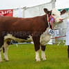 Hereford champion Coley 1 Pippa 356 from T and D Harrison.