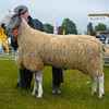 Reserve inter-breed sheep champion a Bluefaced Leicester tup from ????
