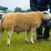 Inter-breed sheep champion a Beltex tup from ?????