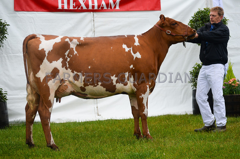 Inter-breed Dairy champion Ayrshire from ???