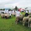 Notts sheep judging