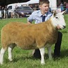 PEEBLES SHOW 15 CHEVIOT AND SHEEP INTERBREED CHAMPION
