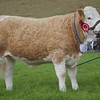 PEEBLES SHOW 15 SIMMENTAL AND RESERVE INTERBREED CHAMP