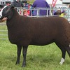 PEEBLES SHOW 15 ZWARTBLES CHAMP