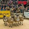 Judging Mules.