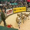 Judging Bluefaced Leicesters.