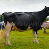 Inter-breed dairy champion